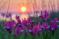Wild irises against the sunset. Royalty Free Stock Photography