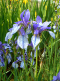 Wild irises. Beautiful light violet blooms of wild iris Stock Image