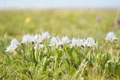 Wild irises Royalty Free Stock Image
