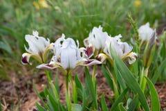 Wild irises Stock Images