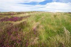 Wild island heather Stock Photography