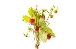 wild isolerad jordgubbe Royaltyfri Bild