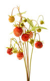 wild isolerad jordgubbe Arkivfoton