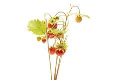 wild isolerad jordgubbe Arkivbild