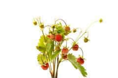 wild isolerad jordgubbe Royaltyfria Foton