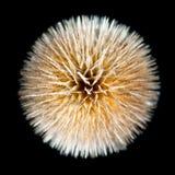 wild isolerad teasel för dipsacus torr fullonum Royaltyfri Fotografi