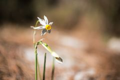 Wild Israeli narcissus lit by the rays of the sun. In the winter forest Stock Images