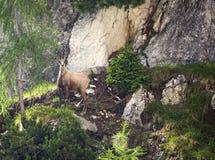 Wild Italian Deer Stock Image