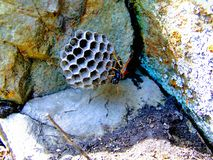 Wild about its paper wasp home . Royalty Free Stock Photography