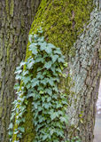 Wild ivy growing up the side of e tree with moss Stock Images