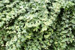 Wild Ivy Nature Background. Wild green ivy growing in outdoors in a tangle of climbing vines Royalty Free Stock Photo