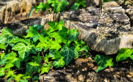 Wild ivy Royalty Free Stock Image