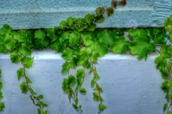 Wild ivy on the wall Royalty Free Stock Images