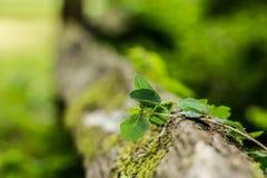 The wild Ivy Stock Photos