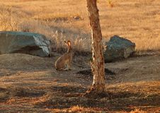 Wild Jack Rabbit. In a park Royalty Free Stock Image