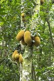 Wild jackfruit in tree Stock Photography