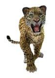 Wild Jaguar royalty free stock image