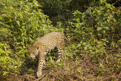 Wild Jaguar Exiting Jungle Royalty Free Stock Photos