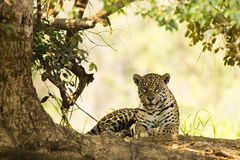 Wild Jaguar, Face Forward Seated under Tree. A wild female jaguar, with paw tucked under, faces the camera while sitting under the shade of a tree Royalty Free Stock Photos