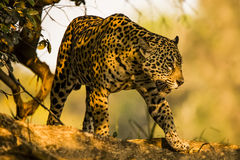Wild Jaguar Going for a Stroll in the Shade Royalty Free Stock Images