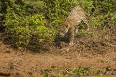 Wild Jaguar Headed to Riverbank Stock Photography