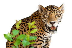 Wild jaguar. Isolated over white Royalty Free Stock Image