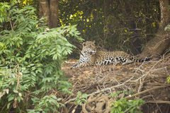 Wild Jaguar in a Jungle Clearing Stock Photos