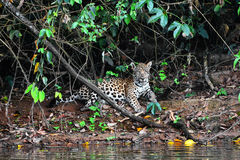 Wild jaguar. In jungles Stock Photography