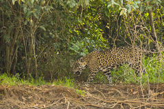 Wild Jaguar Panting while Walking in Jungle Royalty Free Stock Photo
