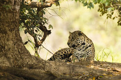 Wild Jaguar, Paw Tucked, Looking to Side, Under Tree. A wild female jaguar, with paw tucked under, sitting under the shade of a tree looking to the side Stock Images