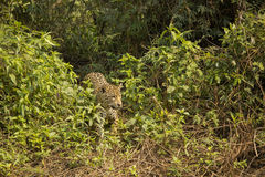 Wild Jaguar Peering out from Jungle Royalty Free Stock Photos