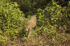 Wild Jaguar Prowling through Jungle Royalty Free Stock Image