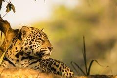 Wild Jaguar Resting Profile Closeup Stock Photos