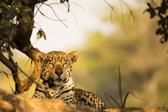 Wild Jaguar Resting in the Shade Royalty Free Stock Images