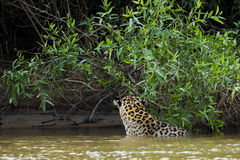 Wild Jaguar in River by Jungle, Rear View Showing Hide Pattern Stock Images