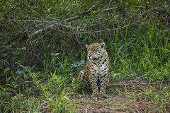 Wild Jaguar Sitting in Jungle Clearing Royalty Free Stock Image