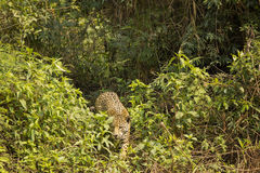Wild Jaguar Skulking through Jungle Royalty Free Stock Photography