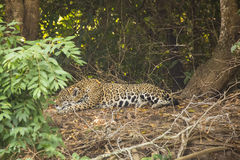 Wild Jaguar Sleeping along Jungle Floor Stock Photo