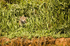 Wild Jaguar Squinting in Bright Sun through Riverbank Grasses Stock Images