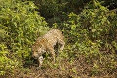 Wild Jaguar Stepping through Bushes Vines Royalty Free Stock Images