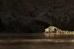 Wild jaguar swimming Stock Images