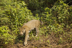 Wild Jaguar Walking over Vines and Bushes. A wild jaguar stretches a spotte paw in front of it as it meanders through the bushes of the dense green jungle Stock Photography