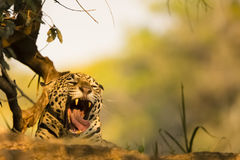Wild Jaguar Yawning. Resting behind a dusty dirt mound in the shade, a wild jaguar yawns showing a long pink tongue and large fangs royalty free stock photos