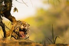 Wild Jaguar Yawning  Royalty Free Stock Photos