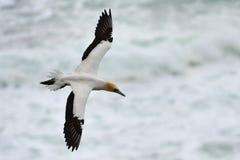 Wild jan-van-gent die bij de kust van Muriwai in Nieuw Zeeland vliegen stock afbeelding