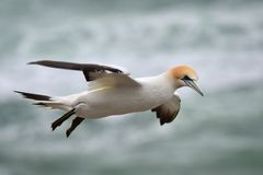 Wild jan-van-gent die bij de kust van Muriwai vliegen stock afbeeldingen