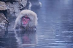 Wild Japanese Macaque - Snow Monkeys Stock Images