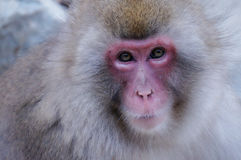 Wild Japanese Macaque - Snow Monkeys. Wild Snow Monkey Park (Jigokudani Yaen-koen) - The only place in the world where monkeys bathe in hot springs Stock Images