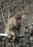 Wild Japanese monkey Stock Photos