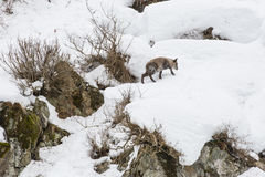 Wild Japanese Serow Walking on Snow Stock Photography